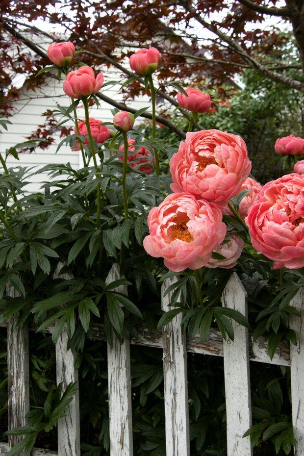 Фотография:  в стиле , Советы, неизвестные факты, пионы, плетистые розы, сирень, удивительные факты – фото на INMYROOM