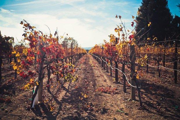 Фотография:  в стиле , США, Калифорния, Обзоры, вино, виноградники, Шенен Блан, Французский Коломбар, Шардоне, Мерло, Совиньон Блан, Зинфандель, Долина Напа, Сонома, Монтерей, Санта-Барбара, Сан-Франциско, Сомелье – фото на INMYROOM
