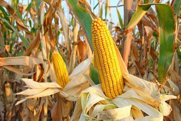 Фотография:  в стиле , Советы, Обзоры, Кукуруза – фото на INMYROOM