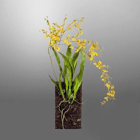 Орхидея SILKKA