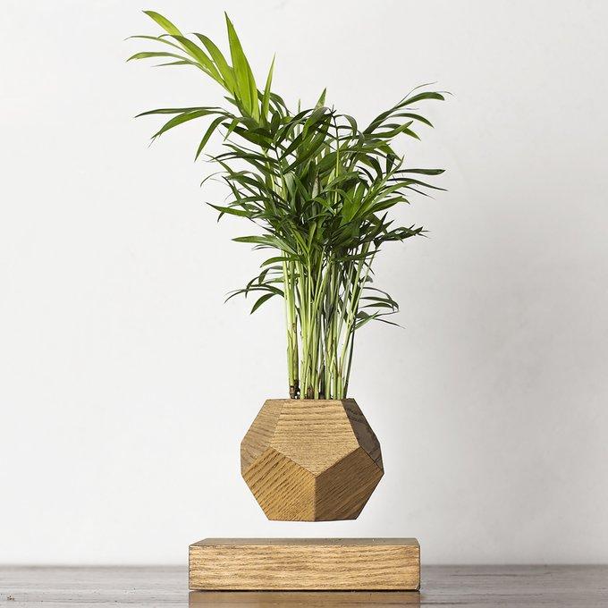 Левитирующие растения Леплант Wood Хамедорея темный