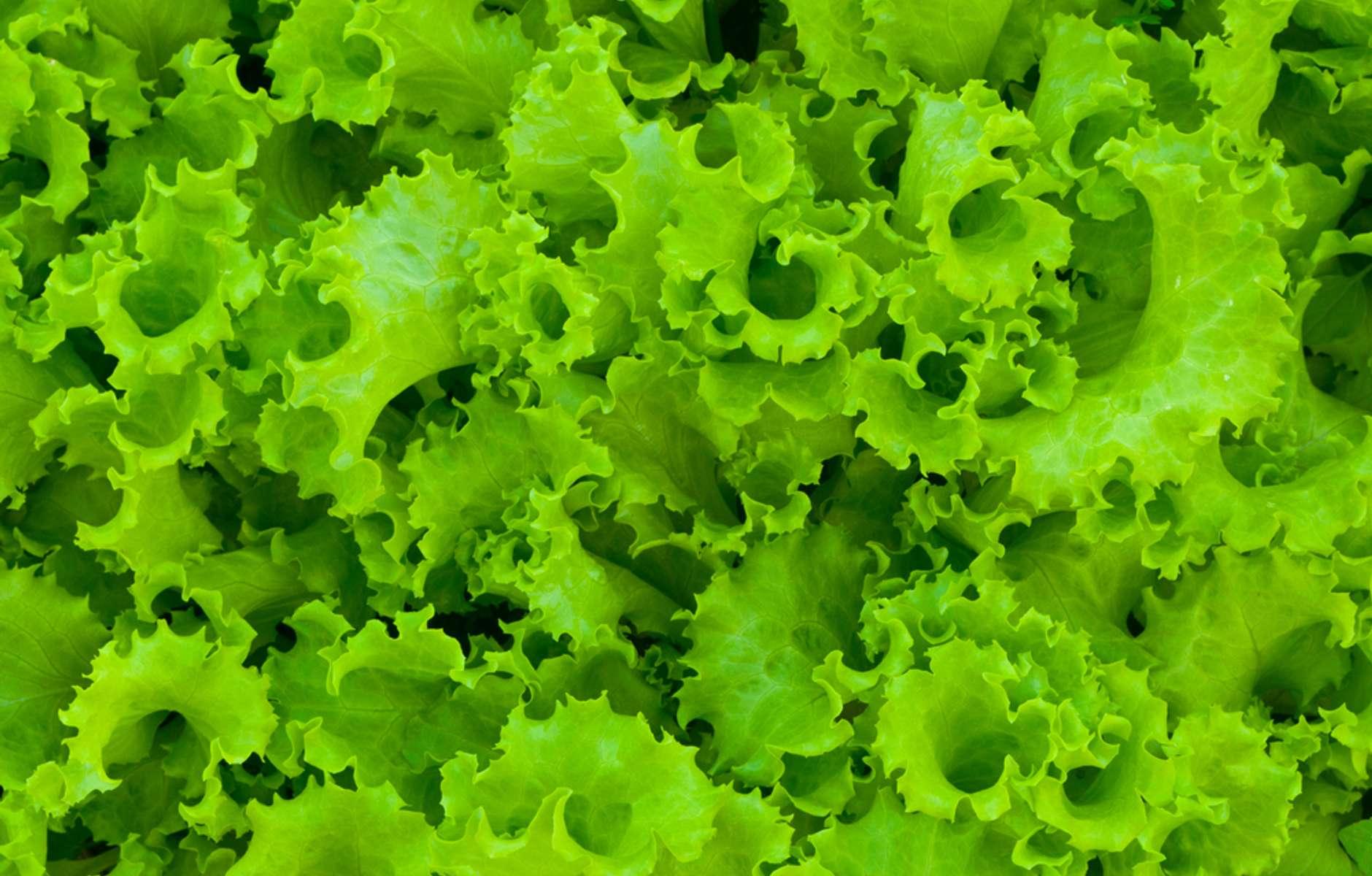Картинка зеленого салата